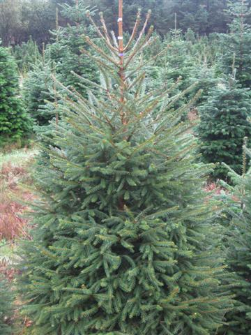 Norway spruce 2