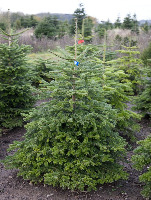 Nordmann Fir (Low Drop)