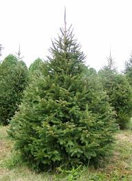 Norway Spruce 7ft