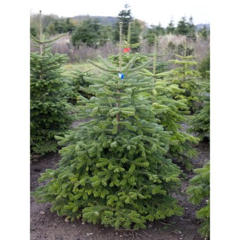 Nordmann Fir (Low Drop) 7ft