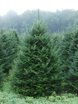 Fraser Fir (Low Drop) 7ft