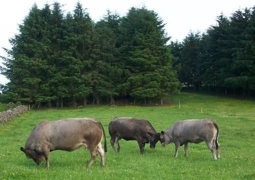Pure Bazadaise Cows