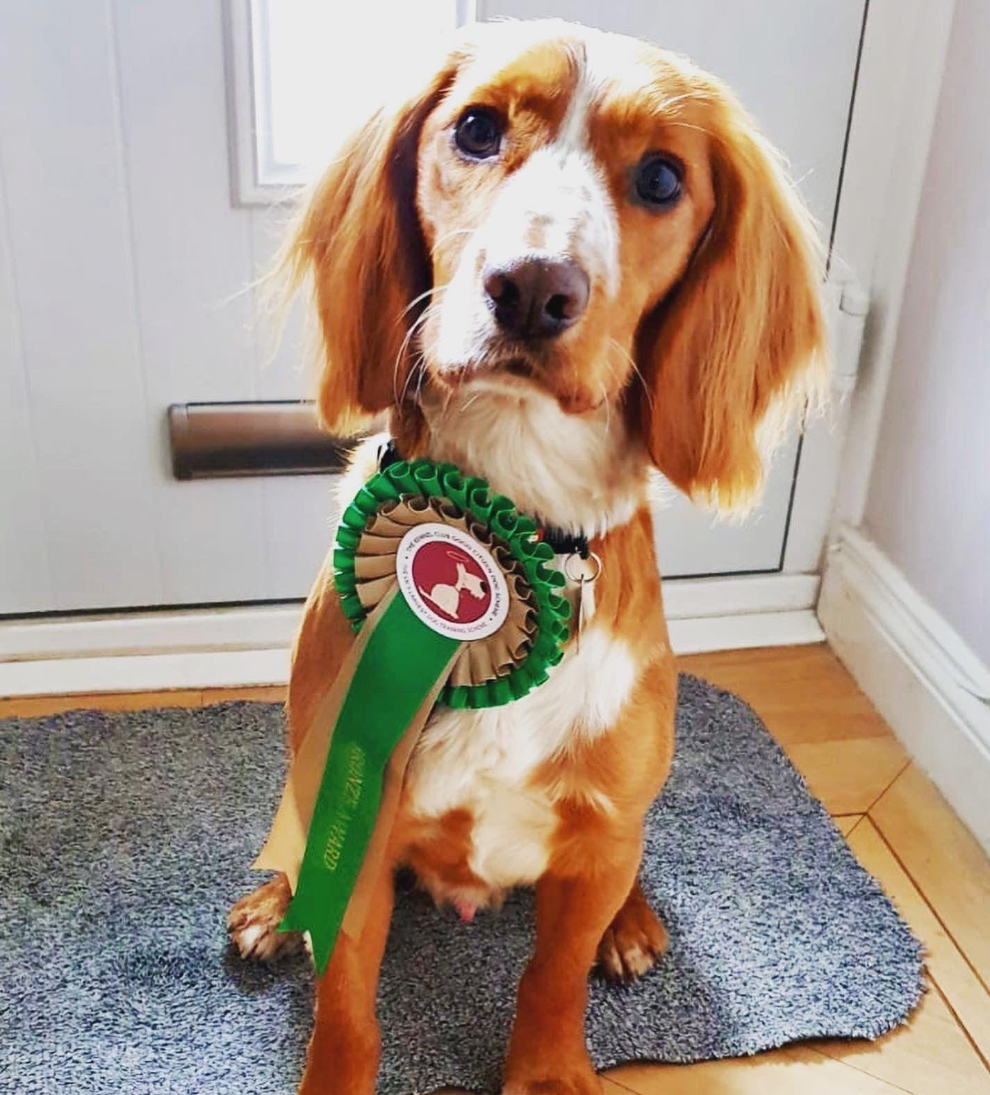 Bronze Kennel Club Good Citizen Scheme