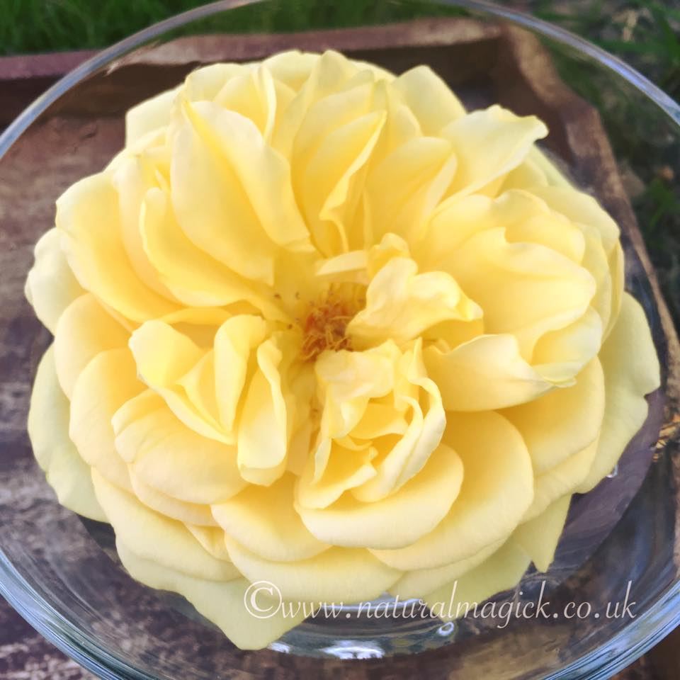 Yellow Rose Flower Essence