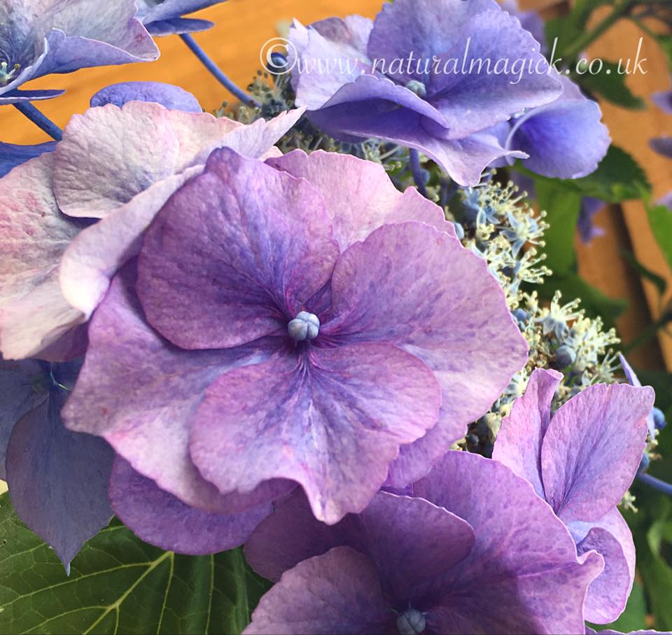 (Blue) Hydrangea Flower Essence