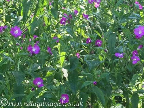 Great Willow Herb Flower Essence