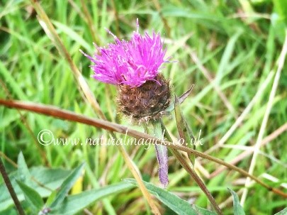 Knapweed Flower Essence