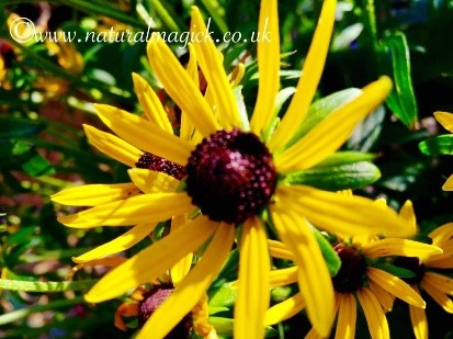Gold Strum (Storm of Gold) Rudbeckia Flower Essence