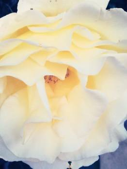 cream rose pic 1