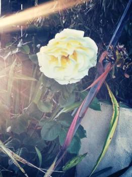 cream rose pic 2