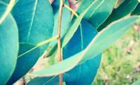 eucalyptus leaf pic