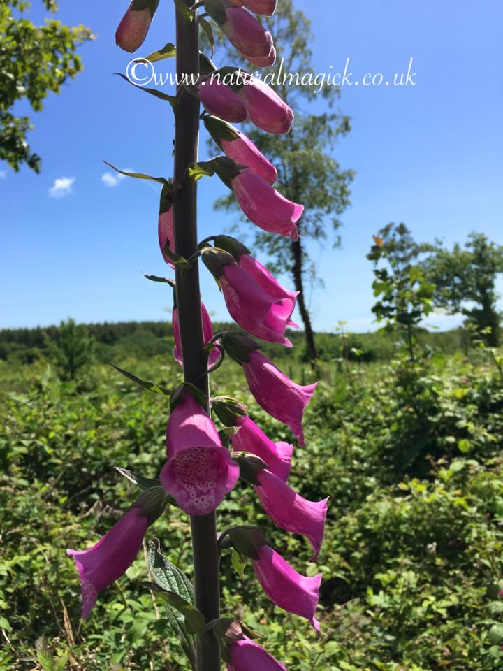 Foxglove Flower Essence