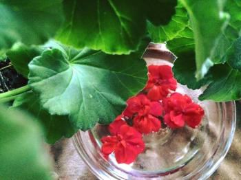 geranium pic 2