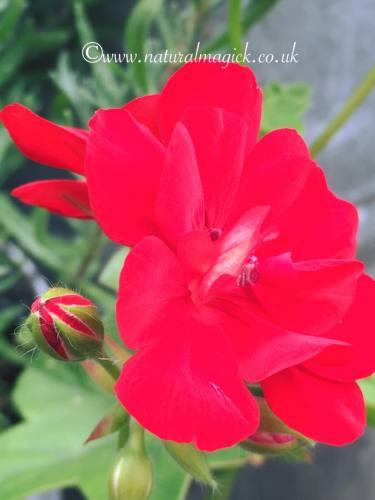 geranium pic 4