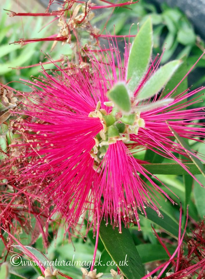 bottlebrush pic 2