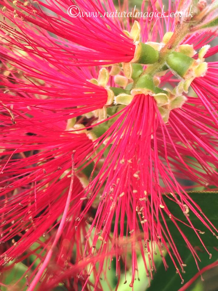 Bottlebrush Flower Essence