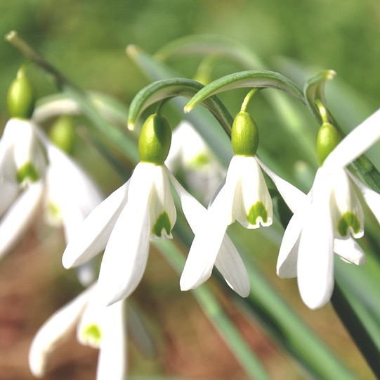 Snowdrop Flower Essence