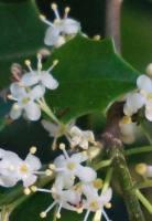 Holly flower (cr)