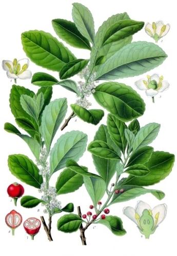 hlers Medizinal-Pflanzen - )