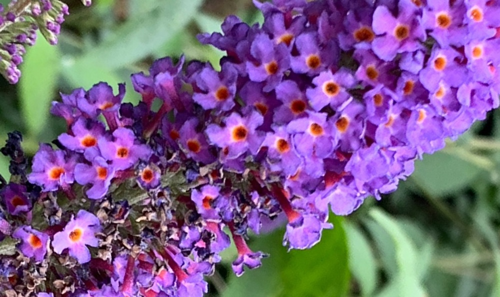 Buddleia Butterfly Bush Flower Essence