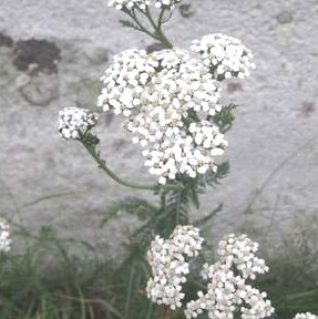 White Yarrow Essence