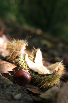 chestnut1