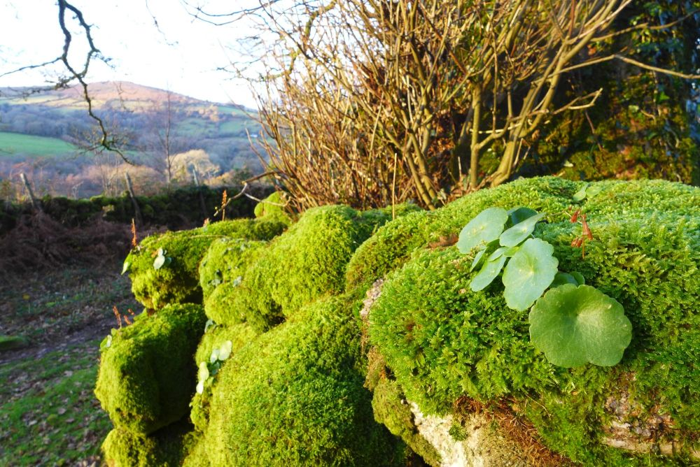 Pennywort Devon wall