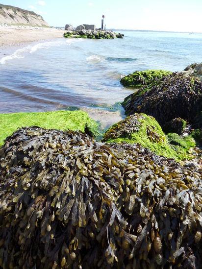seaweed- bladder wrack