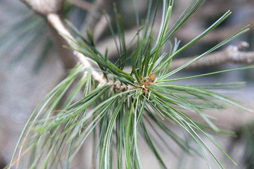 Pine- close up