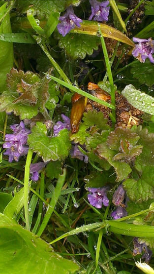 Ground ivy springhead