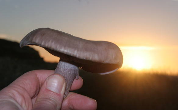Blewit sunrise