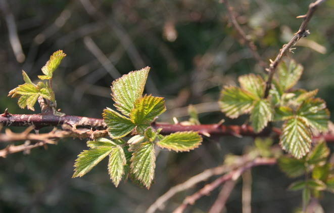 bramble leaves