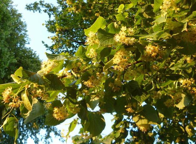 Lime blossom branch