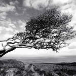Wind blown tree, Exmoor.
