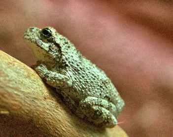 ra grey frog