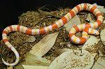 Albino yellow honduran milk snake