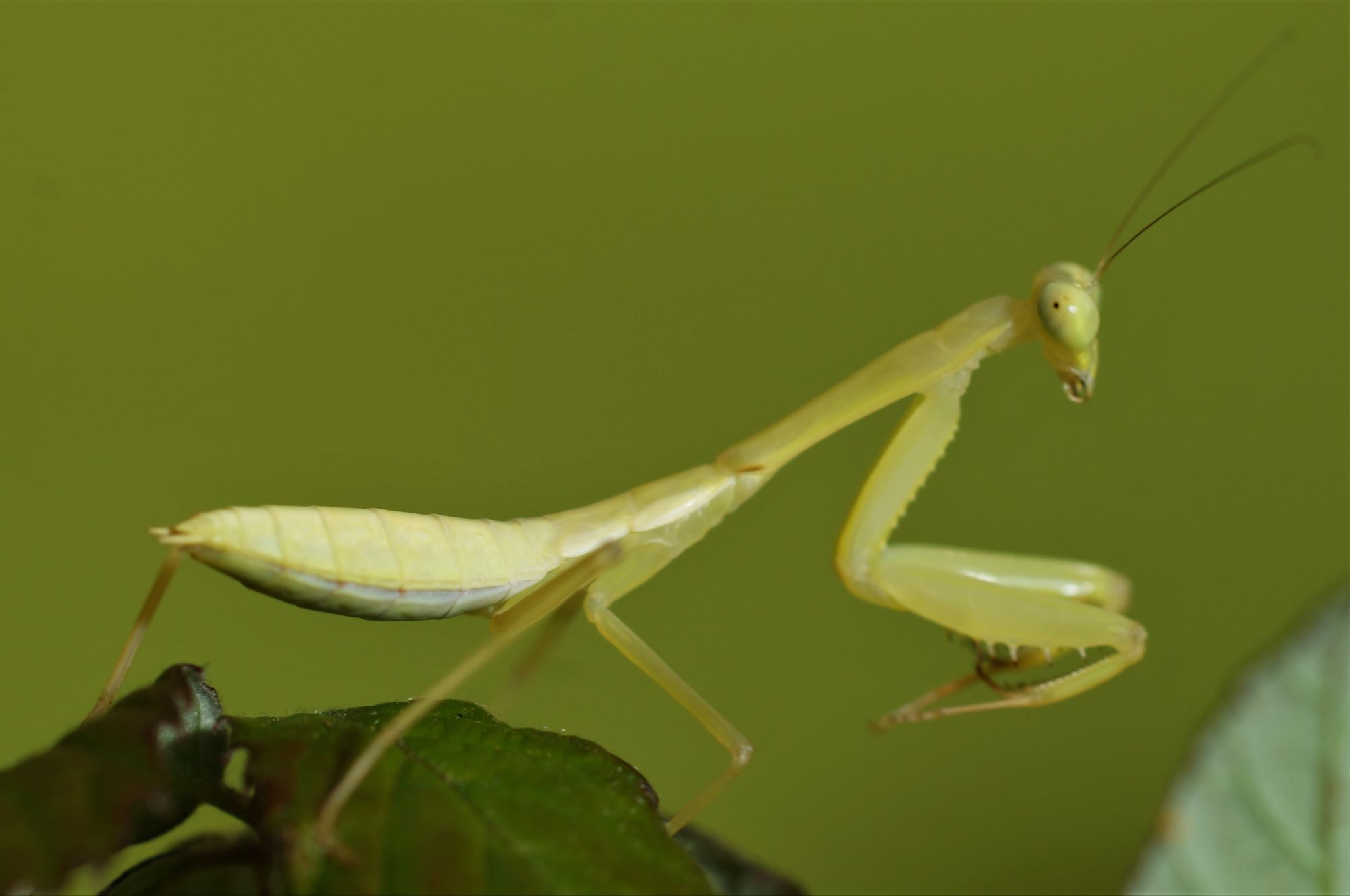 golden mantid