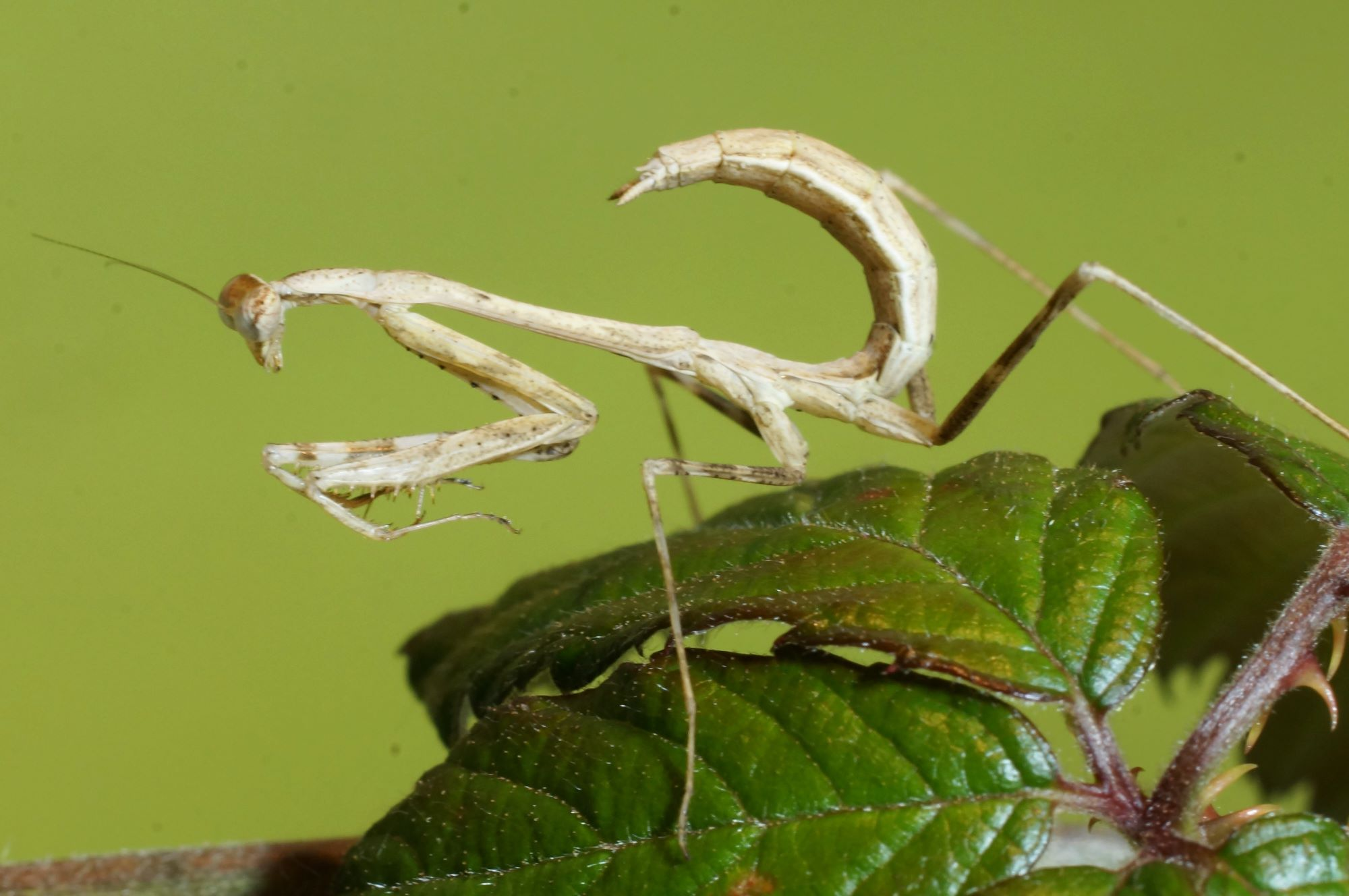 peacock mantid