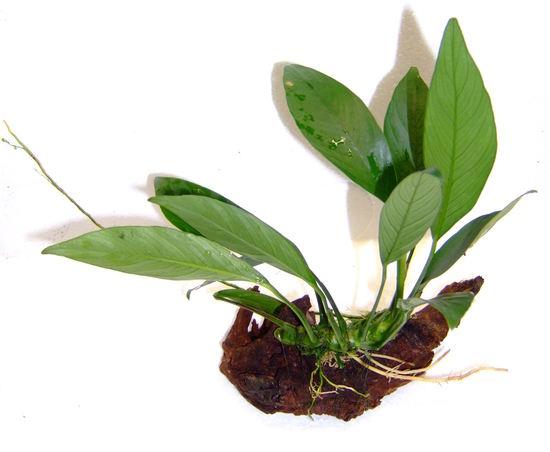 Dennerle plants
