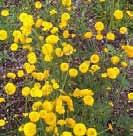 Medow buttercup