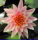 Colorado Pond lilly
