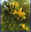 Hypericum teptrapterum