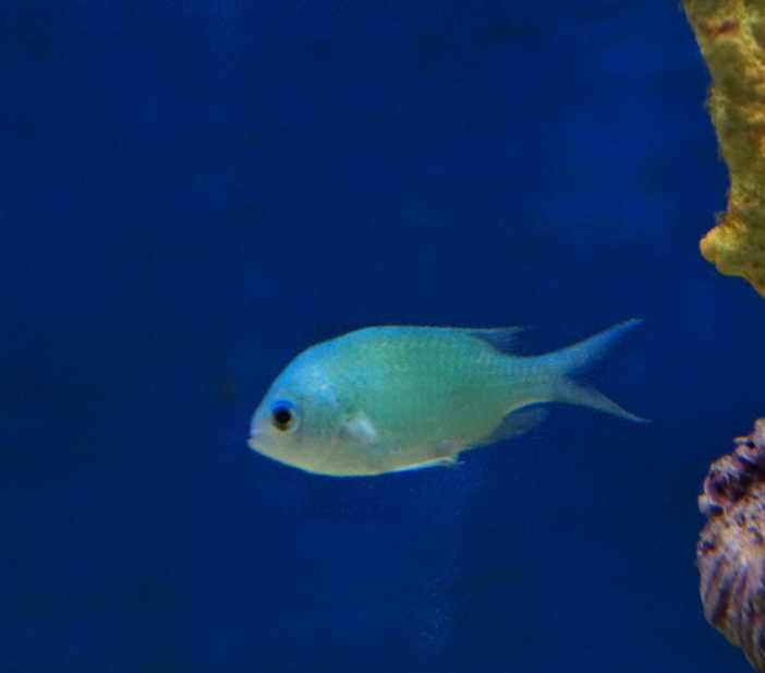 tfm Green chromis