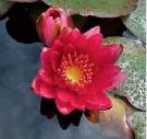 pygmy rubra Pygmy pond lilly