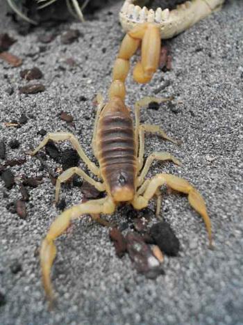 arizona scorpion