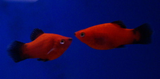 tf liv red platy