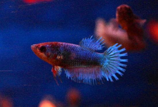 tf crowntail betta