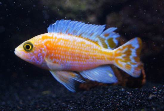 tf goldfin peacock