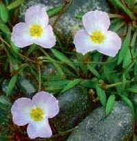 pp baldellia ranunculoides