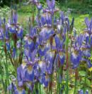 pp iris sibrica